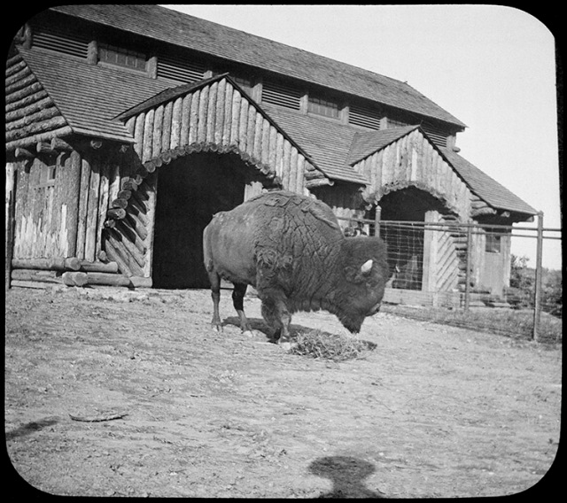 """Buffalo Barn, National Zoo"""