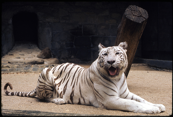 Scientific name: Panthera tigris