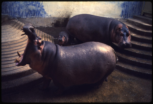 Scientific name: [Hippopotamus amphibius]