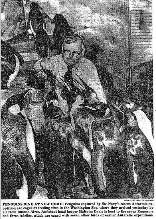 SNZ-penguins-1955_NYT