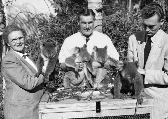 Benchley-koalas-1952