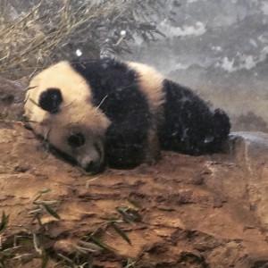 Sleepy_baby_panda___baobaopanda__smithsonianzoo